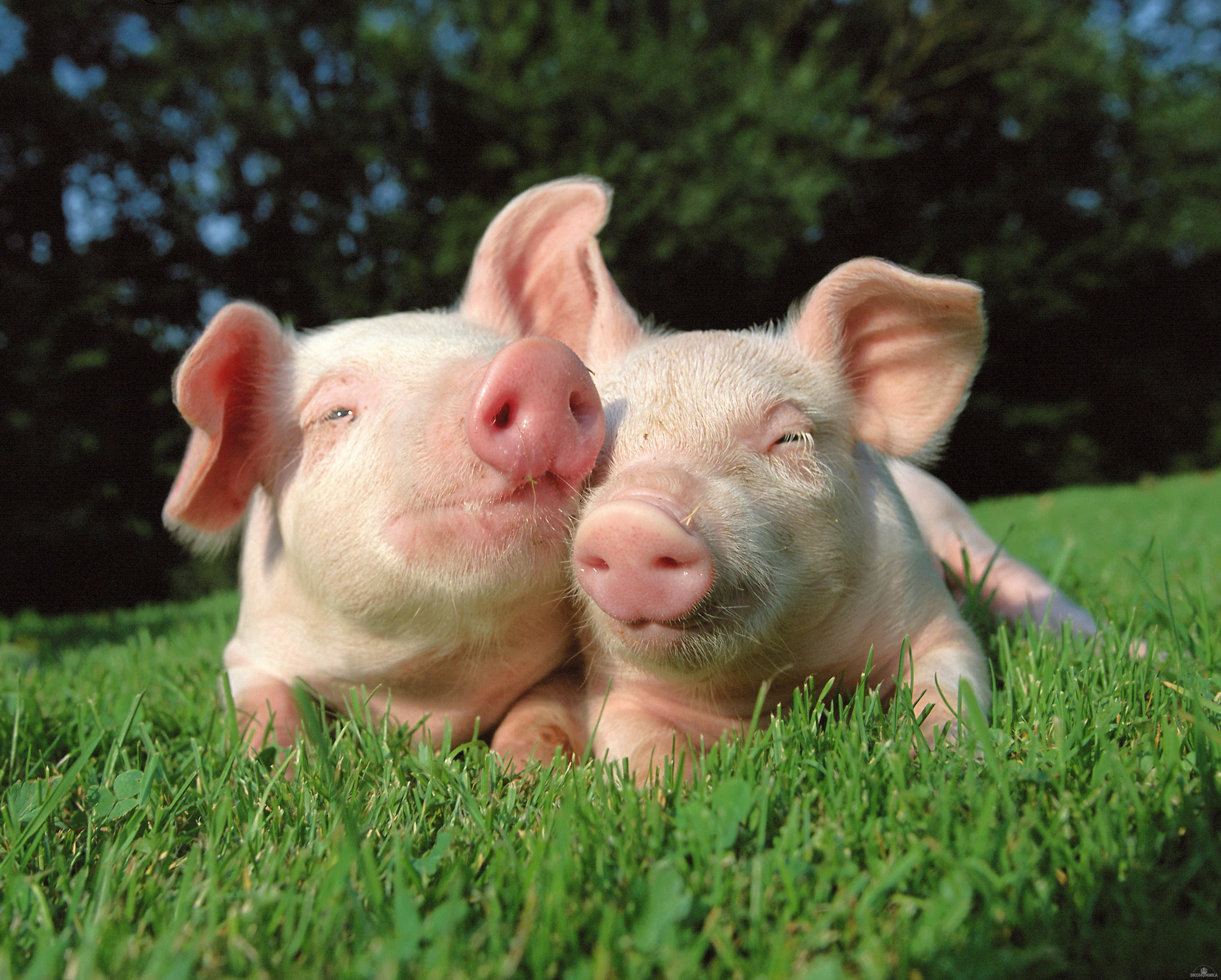 Затри года Российская Федерация превратилась изкрупнейшего импортера свинины в ее экспортёра